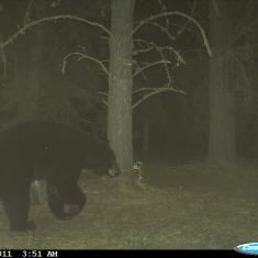 Cuddeback Black Bear Photos
