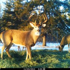 Great Brow Tines